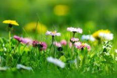 Meadow with lots of white and pink spring daisy flowers and yellow dandelions in sunny day. Nature floral background in early summer with fresh green grass